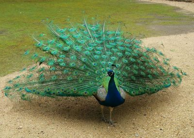 Beautiful male peacock at Cataract Gorge